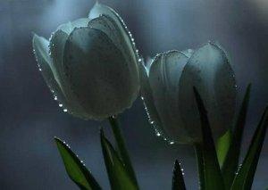 tulip putih embun